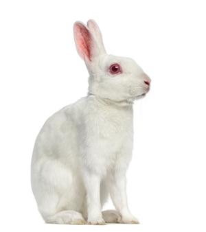 Белый заяц-альбинос сидит, изолированные на белой поверхности