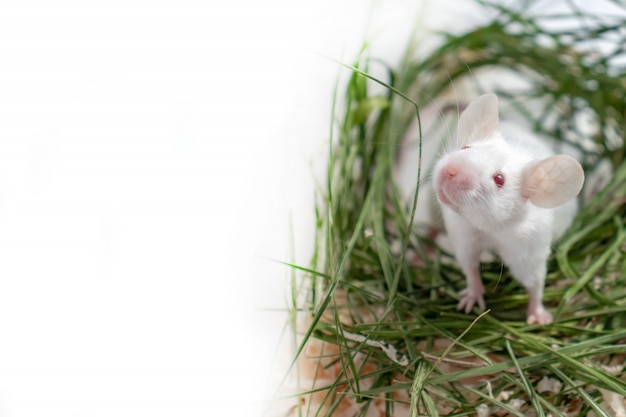 White albino laboratory mouse sitting in green dried grass, hay with copy space. cute little rodent muzzle close up, pet animal concept
