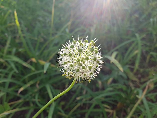 White allium flower