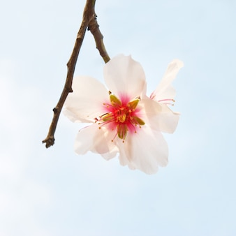 White almond tree pink flowers with branches on blue sky
