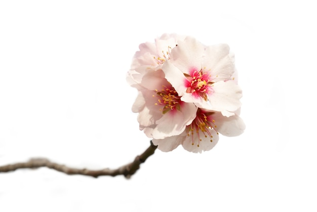 White almond tree pink flowers with branches isolated on white background