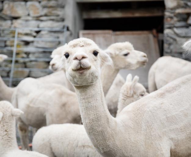 White alpaca herd