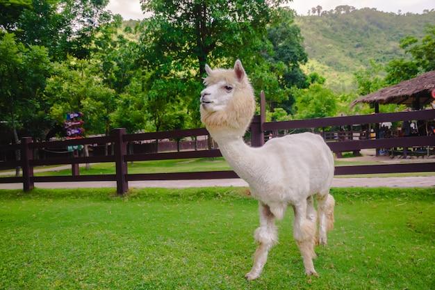 White alpaca standing in farm.