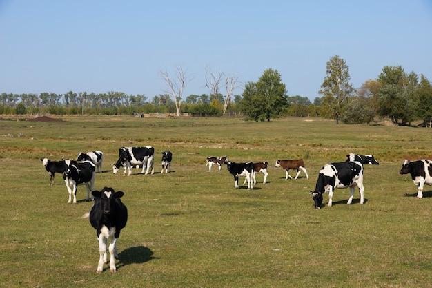 牧草地、牧草地の白と黒の牛。