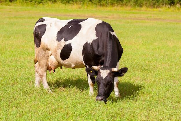 牧草地の白と黒の乳牛