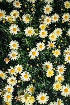 흰색과 검은 색 데이지 꽃