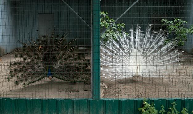 동물원 공원 케이지에 흰색과 검은색 공작