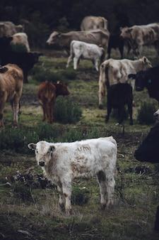 Белая и коричневая корова на поле зеленой травы в дневное время