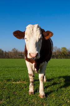 Белая и коричневая корова на зеленой траве с голубым небом