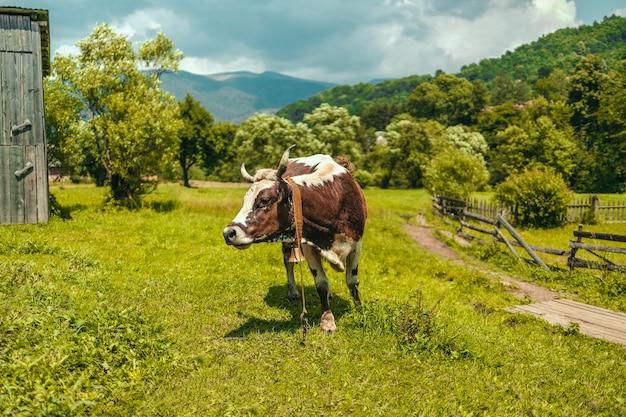 Белая и коричневая корова стоит на зеленой траве на летнем поле