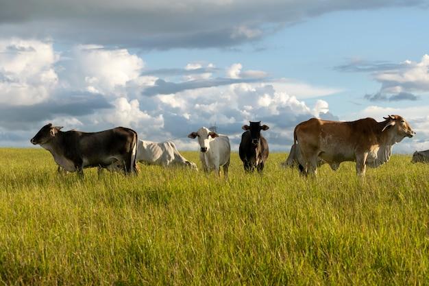 牧草地の白と茶色のネロール牛