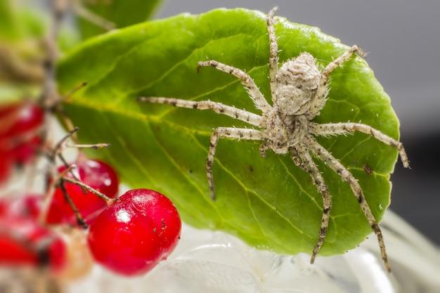 果実の隣の葉の上に座っている白と茶色のクモ