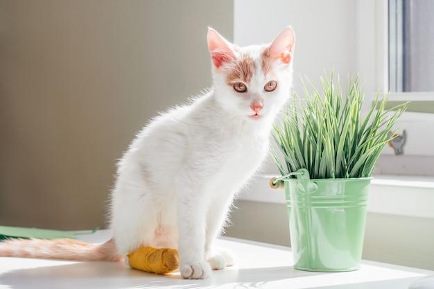 흰색과 생강 고양이 3-4개월은 창가에 앉습니다. 집 식물 옆에 태양 광선에 노란색 붕대로 발에 붕대를 감고 있는 새끼 고양이