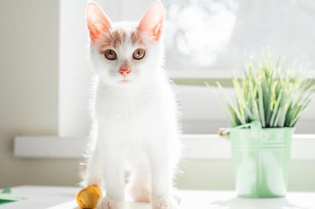 흰색과 생강 고양이 3-4개월은 창 근처에 서 있습니다. 집 식물 옆에 태양 광선에 노란색 붕대로 발에 붕대를 감고 있는 새끼 고양이