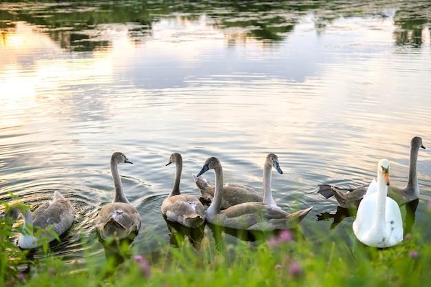 여름에 호수 물에서 수영하는 흰색과 회색 백조.