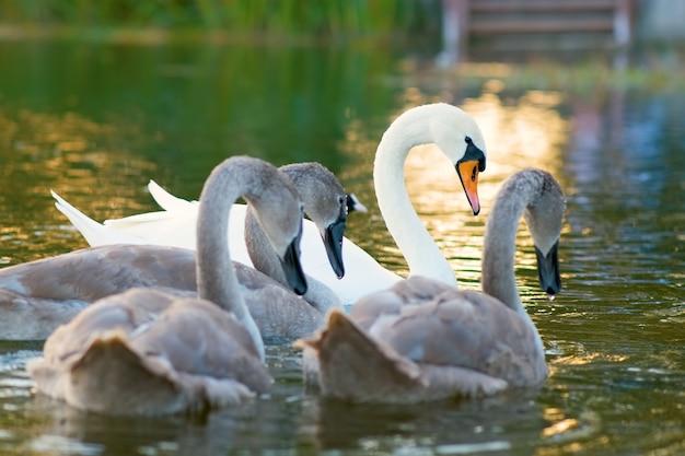 夏に湖の水の上を泳ぐ白と灰色の白鳥。