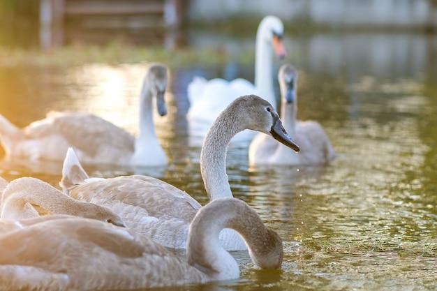 Летом в озере плавают белые и серые лебеди.