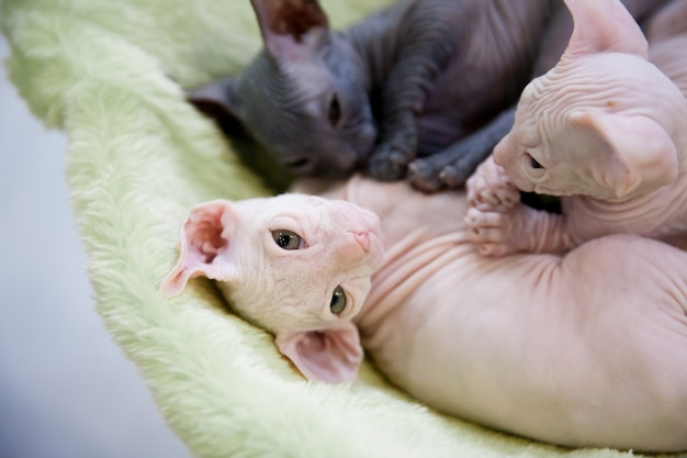薄緑の敷物で寝ている白と灰色の若いスフィンクス猫