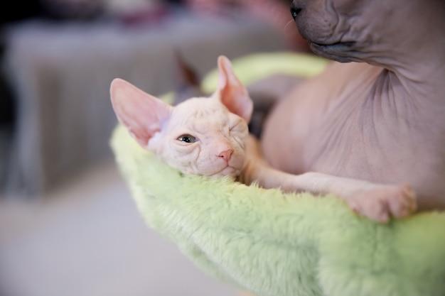 Белые и серые молодые кошки-сфинксы спят на светло-зеленом ковре