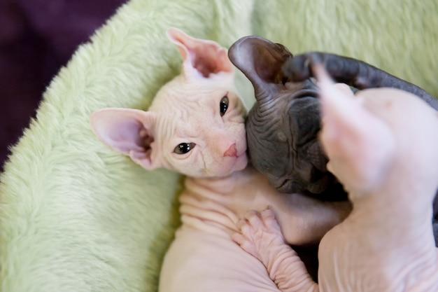 ライトグリーンの敷物で寝ている白と灰色の若いスフィンクス猫