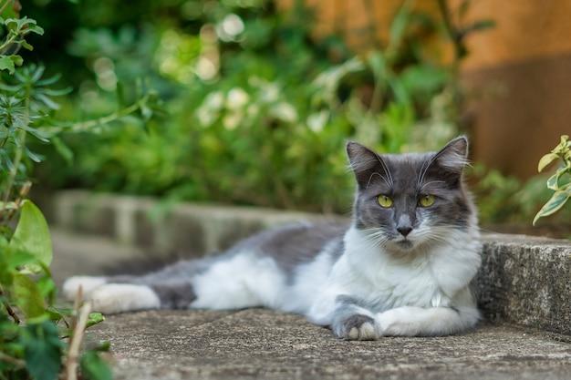 Белый и серый азиатский полудлинношерстный пушистый кот лежит на земле