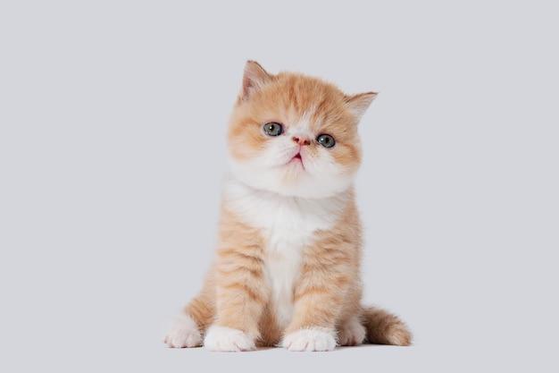 白とオレンジの若いエキゾチックなペルシャ猫