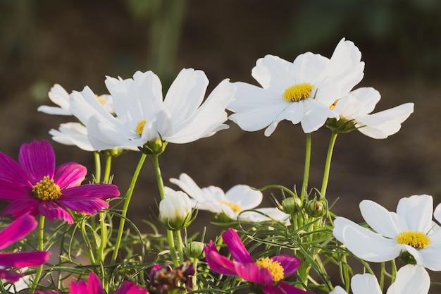 Белый и розовый цветок космоса в зеленом фоне природы.