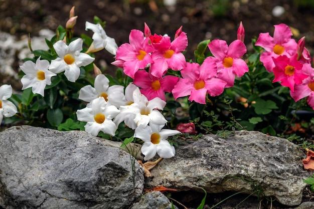 Белые и розовые цветы на клумбе с камнями