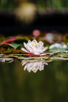 白とピンクの蓮の花が咲いています