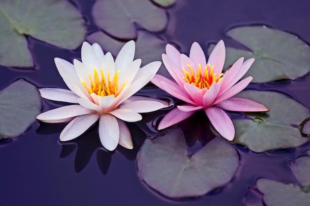 물에 흰색과 분홍색 연꽃