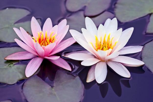 水に白とピンクの蓮の花
