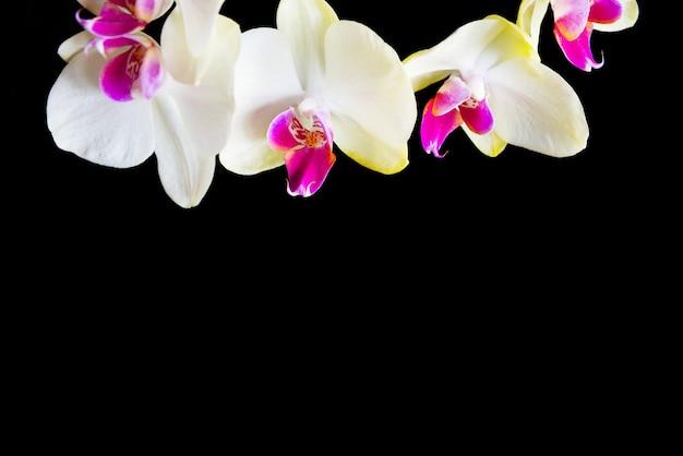 검은 배경에 고립 된 흰색과 분홍색 난초