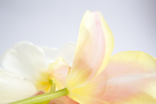 Белые и розовые тюльпаны на фиолетовом фоне с персиковой шелковой лентой. белые цветы. макро изображение. место для текста. открытка. день матери.