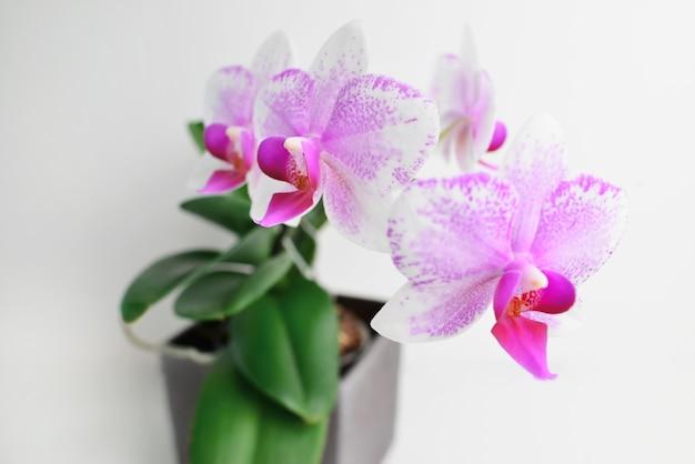 白で分離された白と紫の蘭の熱帯の花