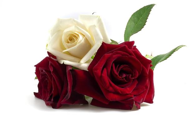 Белые и красные розы лежат на белом фоне.