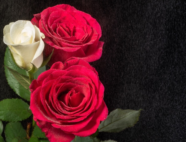 Белые и красные розы на черном с эффектом туманного дождя.