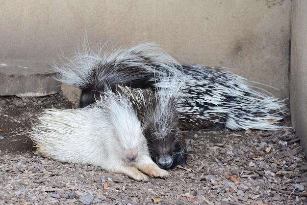 동물원에 있는 흰색 및 줄무늬 말라야 고슴도치, 히말라야 고슴도치 또는 큰 고슴도치.