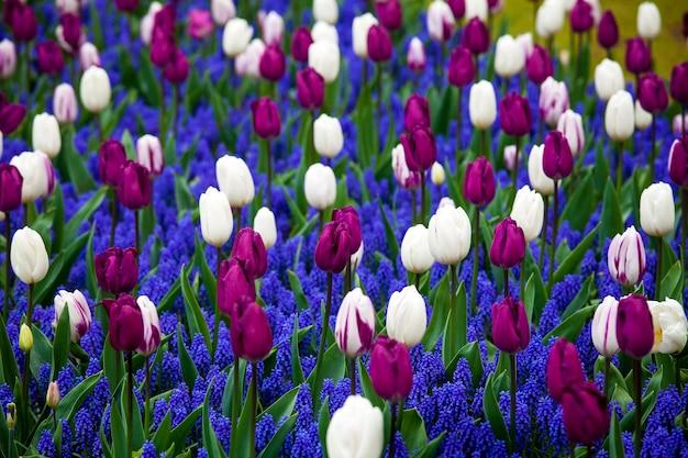 オランダ、キューケンホフ公園の白と紫の色のチューリップ