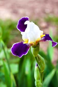 Белый и фиолетовый цветок сорта ириса крупным планом на зеленом