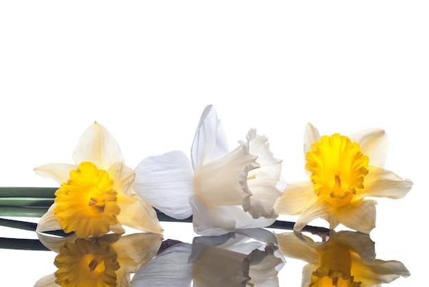 白い表面に分離された白と黄色の水仙
