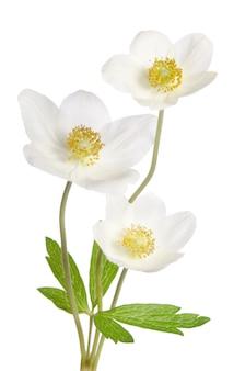 白に分離された白いアネモネの花