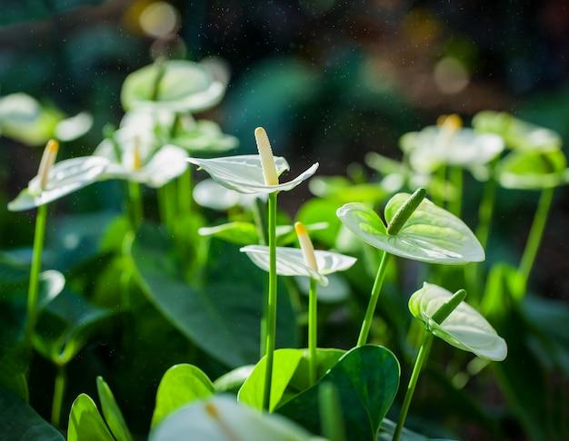 トロピカルガーデンに咲く白いアンスリウム