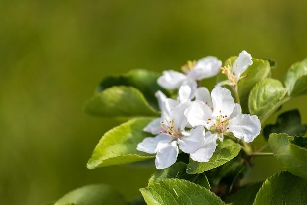 夏の自然の中で白いリンゴの花。高品質の写真