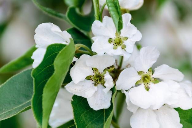 Белые цветы яблони. красиво цветущие яблони. фон с цветущими цветами в весенний день. цветущая яблоня (malus domestica) крупным планом. яблоневый цвет. весна.