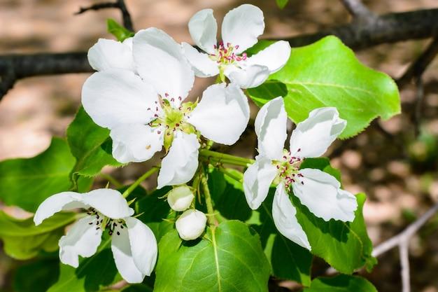 하얀 사과 꽃. 아름 다운 꽃 사과 나무입니다. 봄 날에 피는 꽃과 배경입니다. 개화 사과 나무(malus domestica) 클로즈업. 사과 꽃. 봄날.