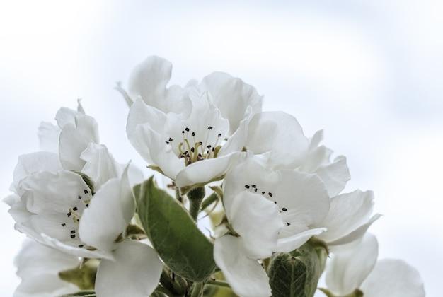 自然の空を背景に、春、イースターの時期に咲く白いリンゴの木の花。閉じる。セレクティブフォーカス。