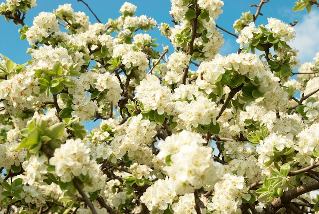 White apple-tree flowers with blue sky background