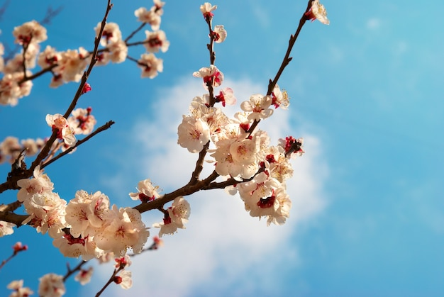 White apricot flowers on spring tree with blue sky background