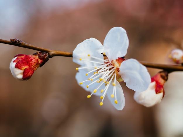 白いアプリコットの木の花、クローズアップ。休日、イースター、国際女性の日の春の入札グリーティングカード。