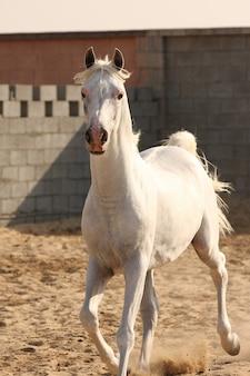 Белая арабская лошадь